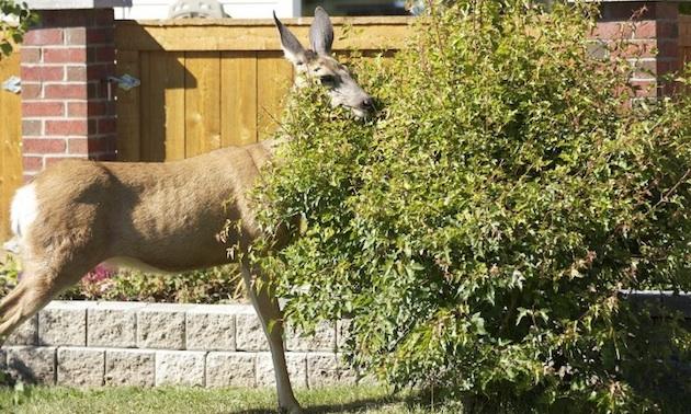 deer eating shrub