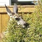 deer eating shrub