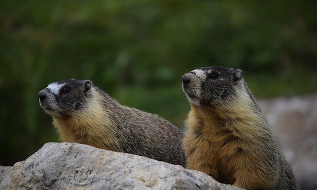 Marmots the only thing friendly of 6th hole